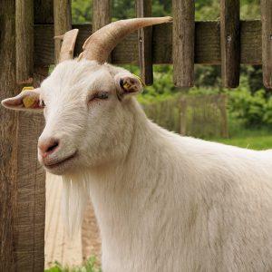 goat-1418643_1920